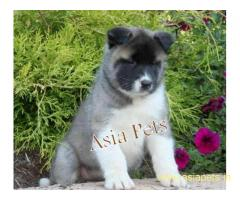 Akita pups price in delhi Akita pups for sale in delhi