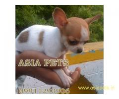 Chihuahua pups price in delhi,Chihuahua pups for sale in delhi