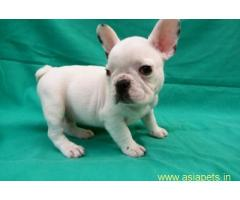 French Bulldog pups price in delhi,French Bulldog pups for sale in delhi