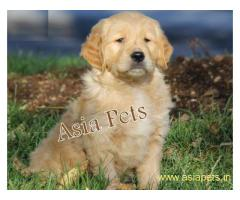 Golden retriever pups for sale in delhi,Golden retriever pups for sale in delhi