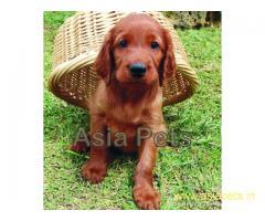 Irish setter pups price in delhi,Irish setter pups for sale in delhi