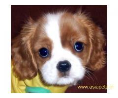 King charles spaniel pups price in delhi,King charles spaniel pups for sale in delhi