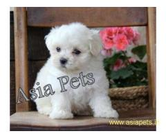 Miniature pinscher pups price in delhi,Miniature pinscher pups for sale in delhi