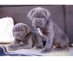Neapolitan mastiff pups price in delhi,Neapolitan mastiff pups for sale in delhi