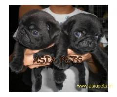 Pug pups price in delhi,Pug pups for sale in delhi