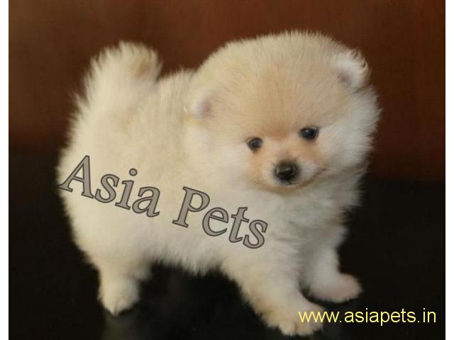 Pomeranian Pups Price In Delhi Pomeranian Pups For Sale In Delhi