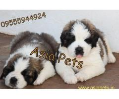 Saint bernard pups price in delhi,Saint bernard pups for sale in delhi