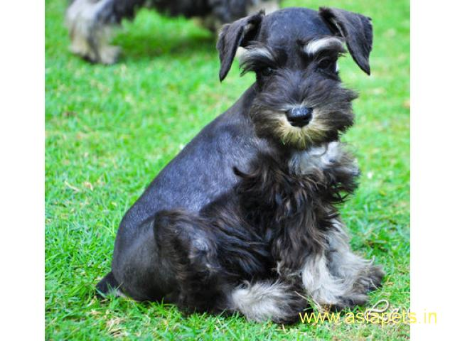 Schnauzer pups price in delhi,Schnauzer pups for sale in delhi