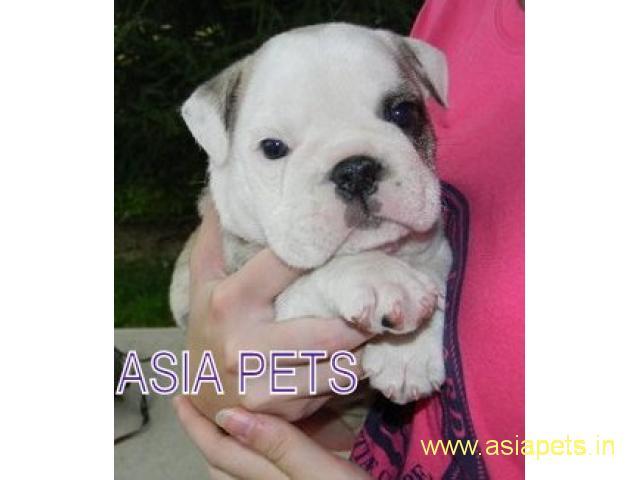 Bulldog puppy price in delhi,Bulldog puppy for sale in delhi