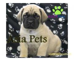 English Mastiff puppy price in delhi,English Mastiff puppy for sale in delhi