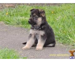 German Shepherd puppy price in delhi,German Shepherd puppy for sale in delhi