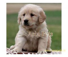 Golden retriever puppy for sale in delhi,Golden retriever puppy for sale in delhi