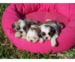 Lhasa apso puppy price in delhi,Lhasa apso puppy for sale in delhi