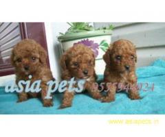 Poodle puppy price in delhi,Poodle puppy for sale in delhi