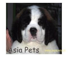 Saint bernard puppy price in delhi,Saint bernard puppy for sale in delhi