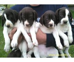 Pointer puppies price in delhi, Pointer puppies for sale in delhi