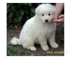Samoyed puppies price in delhi, Samoyed puppies for sale in delhi