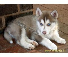 Siberian husky puppies price in delhi, Siberian husky puppies for sale in delhi