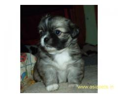 Tibetan spaniel puppies price in delhi, Tibetan spaniel puppies for sale in delhi