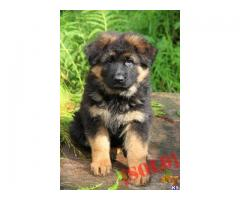 German Shepherd puppies price in Bhubaneswar, German Shepherd puppies for sale in Bhubaneswar