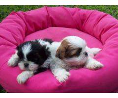 Lhasa apso puppies price in Bhubaneswaar, Lhasa apso puppies for sale in Bhubaneswar