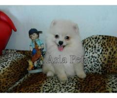 Pomeranian puppies price in Bhubaneswar, Pomeranian puppies for sale in Bhubaneswar
