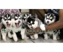 Siberian husky puppies price in Bhubaneswar,  Siberian husky puppies for sale in Bhubaneswar