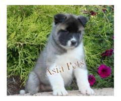 Akita puppy price in Bhubaneswar, Akita puppy for sale in Bhubaneswar