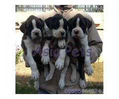 Boxer puppy price in Bhubaneswar, Boxer puppy for sale in Bhubaneswar