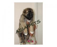 Cane corso puppy price in Bhubaneswar, Cane corso puppy for sale in Bhubaneswar
