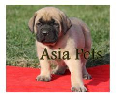 English Mastiff puppy price in Bhubaneswar, English Mastiff puppy for sale in Bhubaneswar