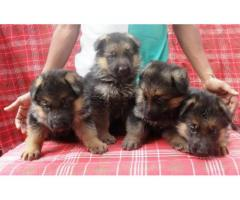 German Shepherd puppy price in Bhubaneswar, German Shepherd puppy for sale in Bhubaneswar