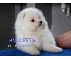 Pomeranian puppy price in Bhubaneswar, Pomeranian puppy for sale in Bhubaneswar