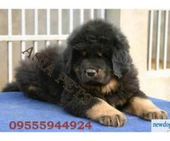 Tibetan mastiff pups  price in Bhubaneswar, Tibetan mastiff pups  for sale in Bhubaneswar