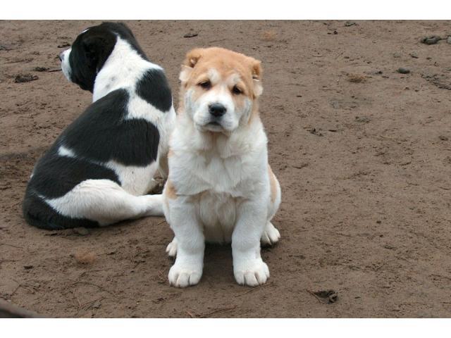 Alabai puppies price in Bhubaneswar, Alabai puppies for sale in Bhubaneswar