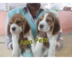 Beagle puppies price in Bhubaneswar, Beagle puppies for sale in Bhubaneswar