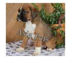 Boxer puppies price in Bhubaneswar, Boxer puppies for sale in Bhubaneswar