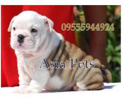 Bulldog puppy price in chandigarh, Bulldog puppy for sale in chandigarh