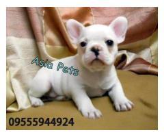French Bulldog puppy price in chandigarh, French Bulldog puppy for sale in chandigarh
