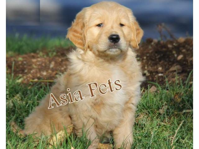 Golden Retriever Puppy For Sale In Chandigarh Golden Retriever