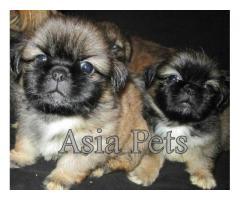 Lhasa apso puppy price in chandigarh, Lhasa apso puppy for sale in chandigarh