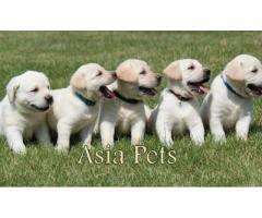 Labrador puppy price in chandigarh, Labrador puppy for sale in chandigarh