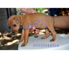 Miniature pinscher puppy price in chandigarh, Miniature pinscher puppy for sale in chandigarh