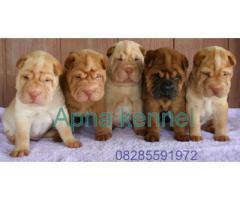 Shar pei puppyprice in chandigarh, Shar pei puppy for sale in chandigarh