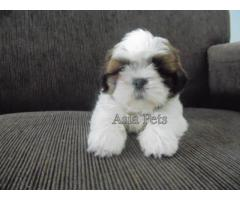 Shih tzu puppyprice in chandigarh, Shih tzu puppy for sale in chandigarh