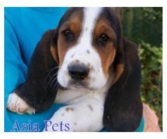 Basset hound pups  price in chandigarh, Basset hound pups  for sale in chandigarh