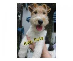 Fox Terrier pups  price in agr  Fox Terrier pups  for sale in chandigarh