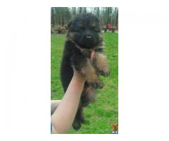 German Shepherd pups  price in chandigarh, German Shepherd pups  for sale in chandigarh