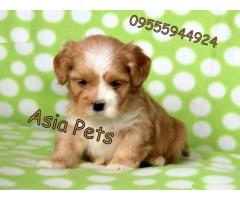 Lhasa apso pups  price in chandigarh, Lhasa apso pups  for sale in chandigarh