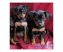 Miniature pinscher pups  price in chandigarh, Miniature pinscher pups  for sale in chandigarh